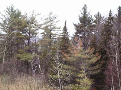 Thinning, yellowing and browning white pines.